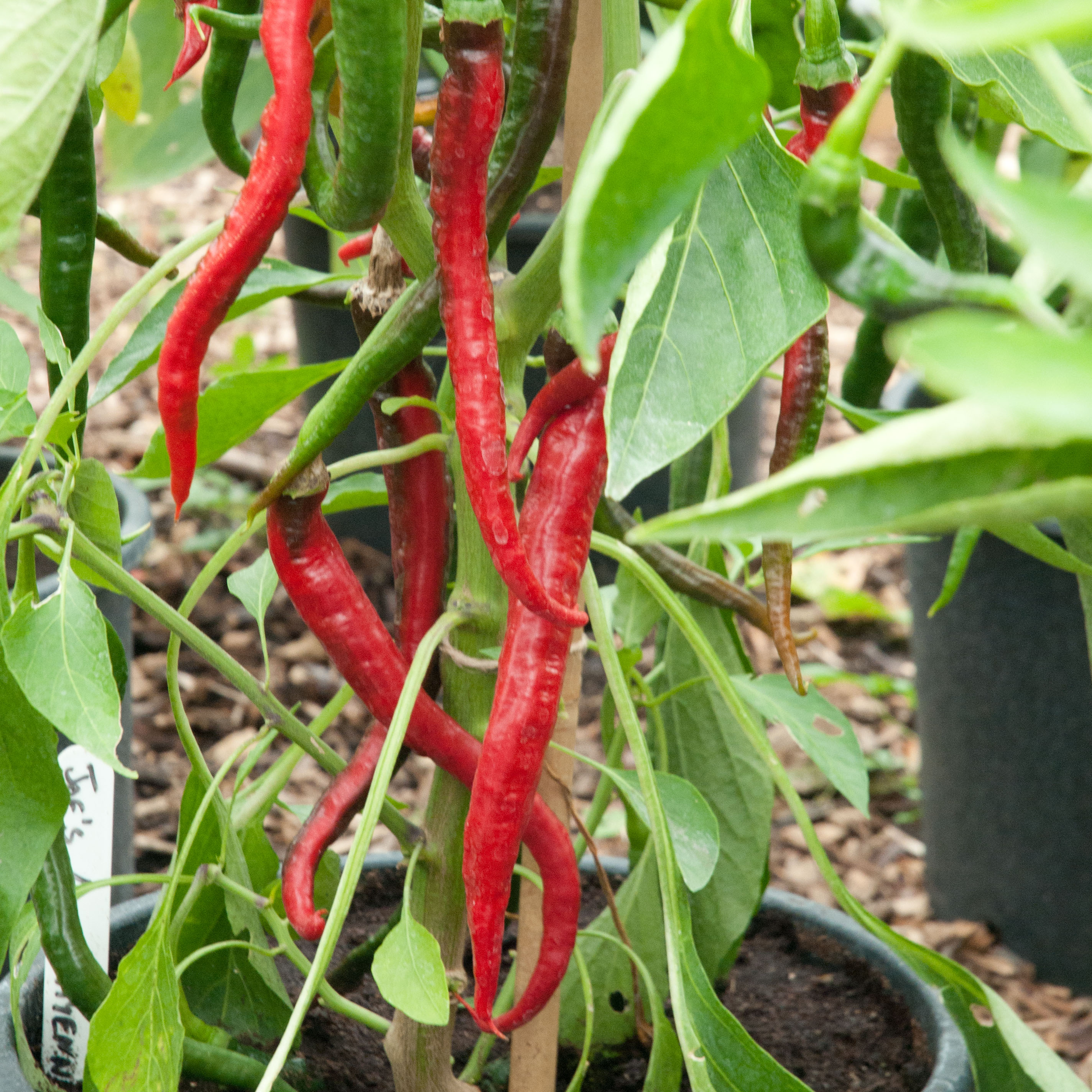 Photo credit: chillies-at-victotiana-nursery